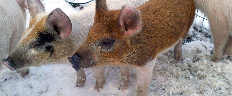 Eerlijk varkensvlees