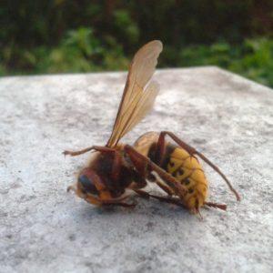 Dode hoornaar voor de kast, één minder gelukkige van velen die kwamen roven.