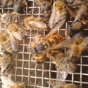Dode bijen en wesp op de gaasbodem.